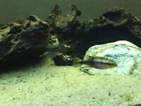 Trophical fish cichlids kribnesis