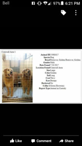 2 lost Golden Retrievers in Cornwall