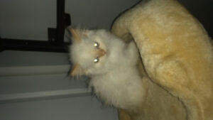 Purebread white fire point hymalanyan male kitten for sale