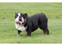 KC reg English Bulldog 11 months old Black & Tan carrying chocolate and blue LILAC PRODUCER