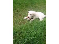 Yellow lab pup for sale