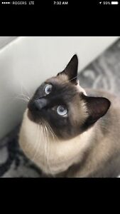 Beautiful Siamese Mix up for adoption