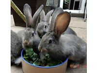 For Sale,Continental Giant rabbit kits,