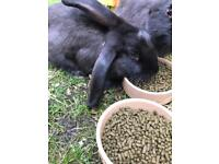 Male and Female rabbits for sale