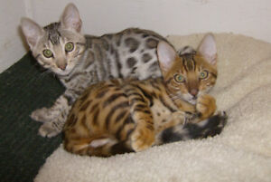 BENGAL KITTENS TICA REG. TWO MALE, ONE FEMALE