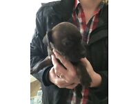7 staff pups KC reg 1st injection will be given 5 boys 2 girls ready in 3 weeks £200