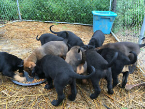 Lab cross puppies for sale
