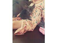 Absoloutley Stunning Blue Oriental Baby Boy Kitten