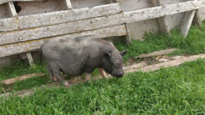 Pot belly pig, 1 yr. Old Boar