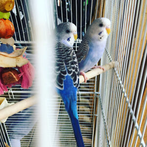4 baby budgies with cage