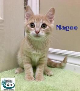 "Baby Male Cat - Domestic Short Hair: ""Magoo - Cuddler!"""