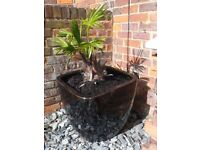 Large gloss Black Planter with Windmill Palm Trachycarpus Fortunei