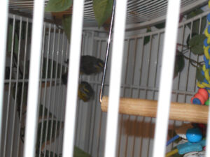 ONE YOUNG PAIR OF BONDED GREEN SIGNER FINCH , NO CAGE .