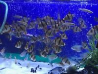 6x Large Tiger Barbs for sale - live tropical fish