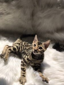 Exotic purebred registered Bengal kittens for sale