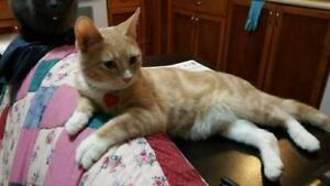 Young Male  - Domestic Short Hair-Tabby (Orange)