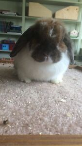 Holland Lop Doe Available