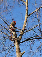Tree Cutters/Limbing/Climbing/Pruning/Insured/Free Quotes