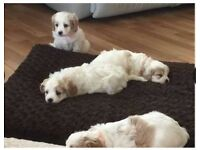 Beautiful Litter Of Cavapoo puppies