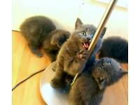 Adorable (Gccf) British shorthair blue kittens female male cats