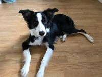 Border collie male puppy 7months old