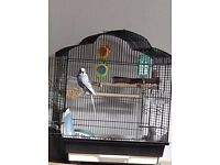 Tame male budgie