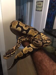 1.5 year old yellowbelly pastel het ghost ball python