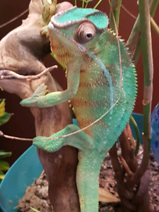 Panther chameleon.cage and mister
