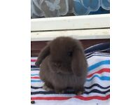 Beautiful mini lop's