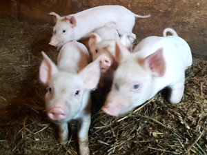 Piglets for trade or sell. 8 weeks old