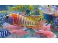 Malawi Cichlids tropical fish not Marine fish