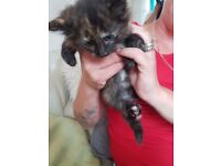 Beautiful Kittens; ready now; 3 female...