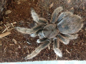 Chilean Rose Hair Tarantula