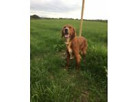 Red setter for sale