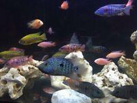 "Malawi Cichlids, 2"" to 3"" Fish"