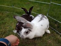 2 bonded Female Rabbits with Hutch, Run and everything else