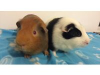 Male rescue Guinea pigs looking for a forever home