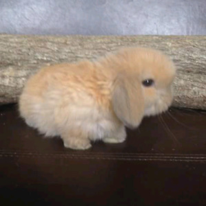 Male holland lop bunny