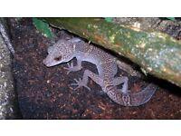 Norway Cave Gecko(Goniurosaurus lichtenfelderi)