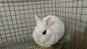 Hotot Rabbits