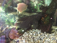 TROPICAL PLEC CATFISH FOR SALE AT LEAST 6 INCHES LONG, TOO BIG FOR MY TANK