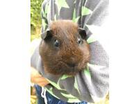 2 male chocolate coloured guinea pigs for sale