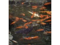 Adult goldfish for sale