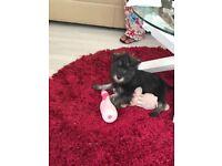 KC REG Female Miniature Schnauzer Puppy For Sale