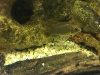 Baby cichlids
