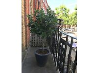 3 gorgeous BAY TREES in design pots (1.3 meters tall). MUST GO. £250 for the 3. We are moving!
