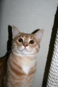 "Young Male Cat - Tabby (Orange): ""Tristan"""