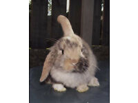 Mini lop baby rabbit