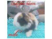 Mini lop babies for reserve