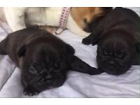Chocolate French bulldog pups